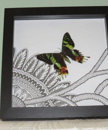 Echte Vlinder in luxe lijst